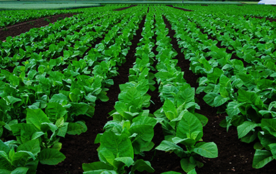 Diagnosing Fungus Infection in Tobacco Crops with Spectrophotometry