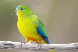 ¿Pueden ser los pájaros la prueba clave para la decoloración de pigmentos?