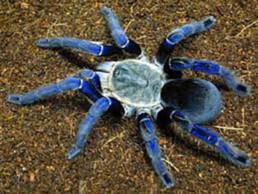 Could Blue Spiders Be the Key to Natural Blue Food Dye?