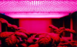 Can Colored Lights Affect How Plants Grow?