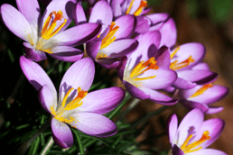 Could Crocuses Lead to the Next Big Innovation in Cancer Treatments?