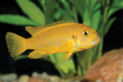 Fish Color Determines Amount of Received Aggression