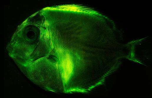 Glow Baby Glow: Biofluorescence vs. Bioluminescence