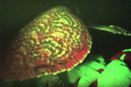 Primeira aparição de uma tartaruga bio fluorescente