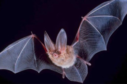 The Effects Of Artificial Light On Bats