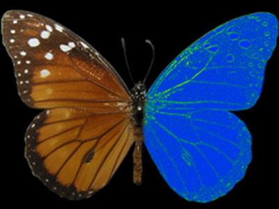 Visión del Color De Las Mariposas