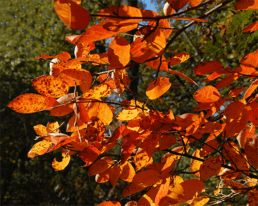 Why the Leaves Change Color in Fall